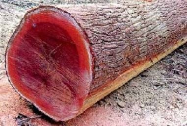 красное дерево массарандуба